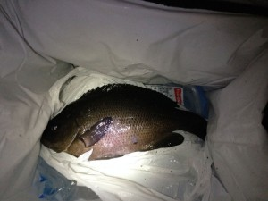 渋い時にも釣れるサビキ仕掛け@大黒海釣り施設