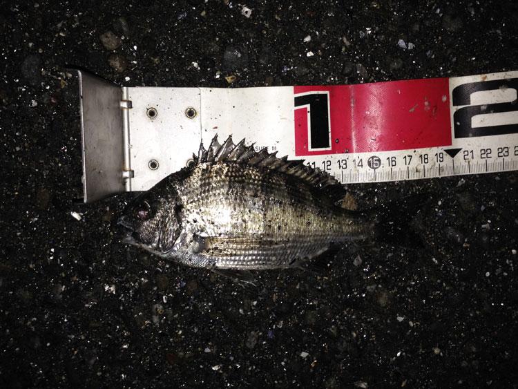 2016年5月7日 城南島海浜公園 レア魚種ゲット?